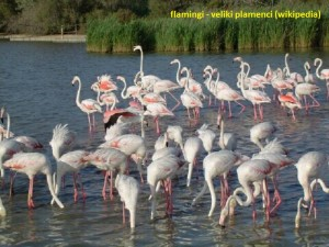 07_Camargue_flamingos_wiki